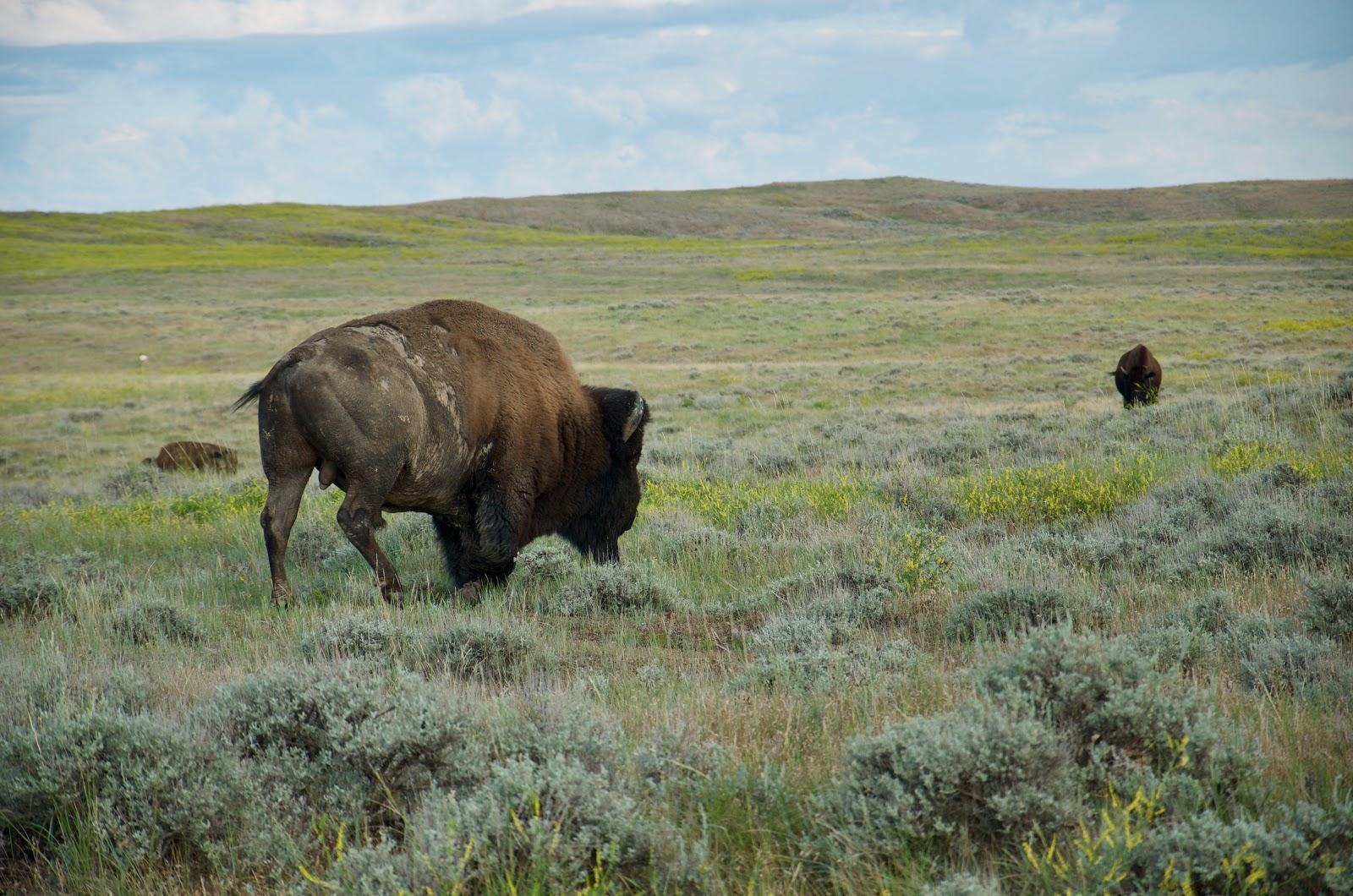 A herd of bison roam on lands owned by the American Prairie Reserve, a sprawling wildlife reserve in northeastern Montana.