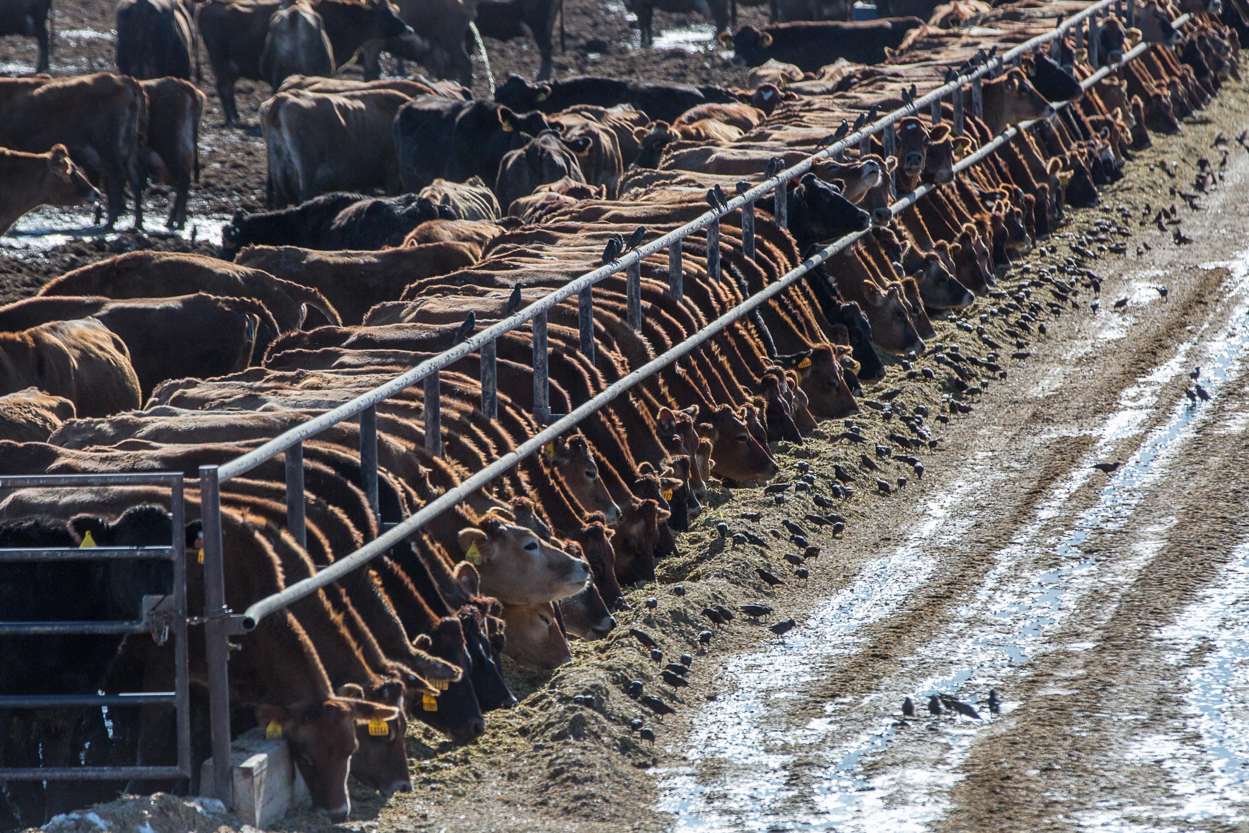 Cattle in a Weld County feedlot