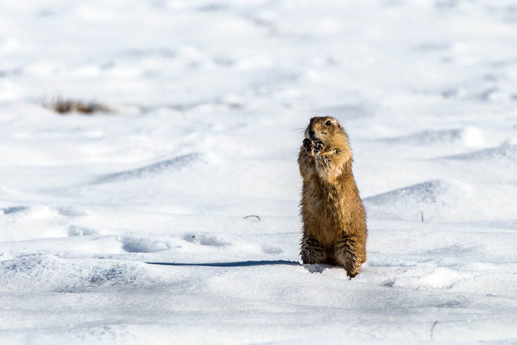 Prairie dogs in Weld County