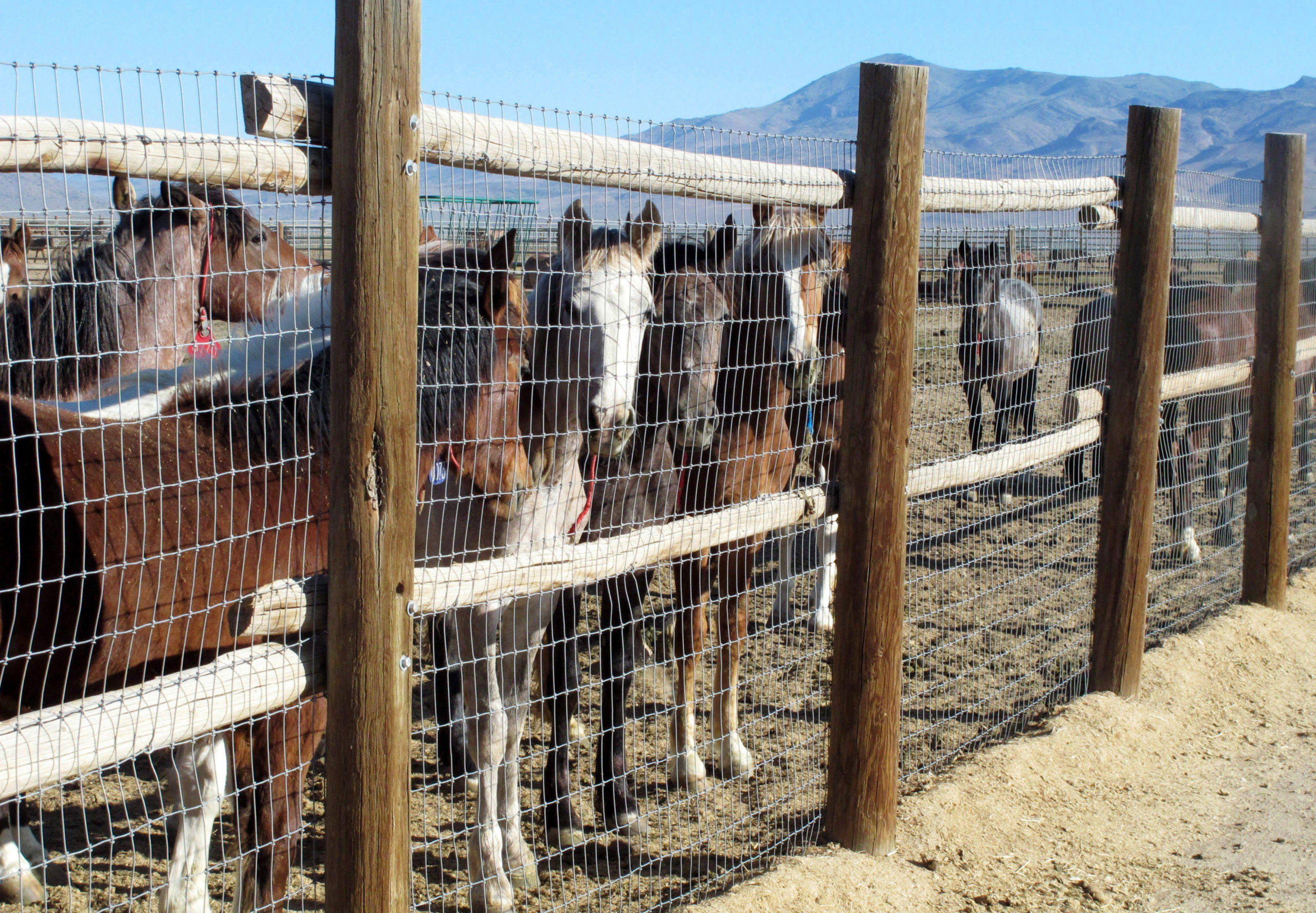 Wild Horses Nevada