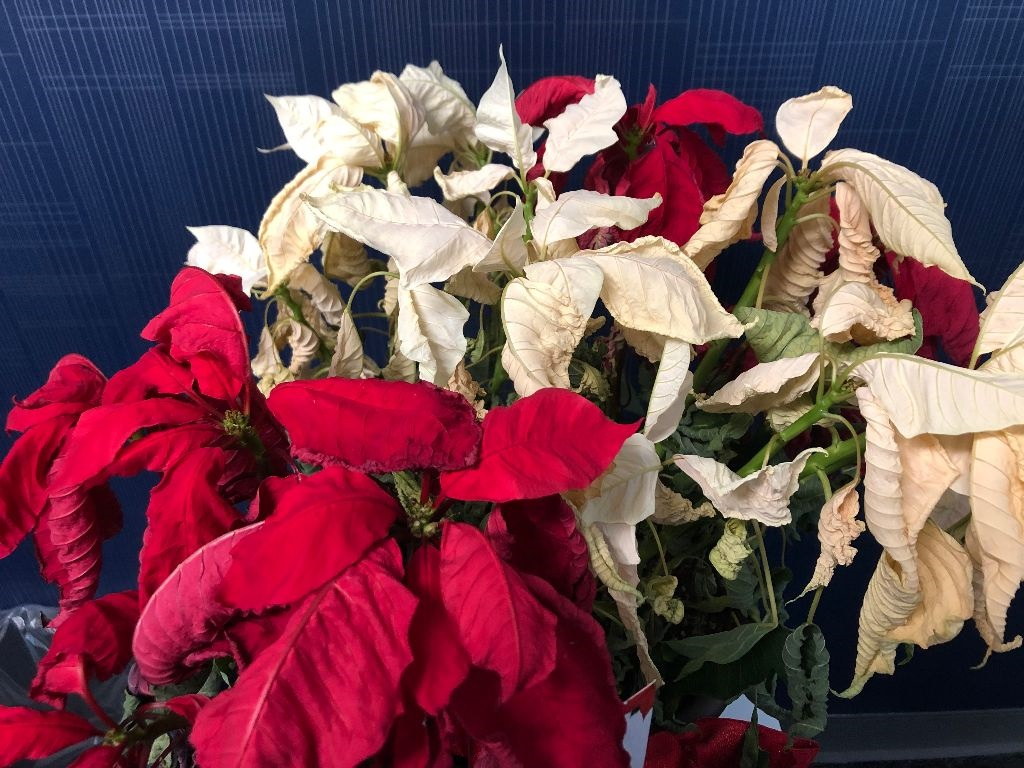 Poinsettias need water , but not too much water, and light, but not too much light, to thrive.