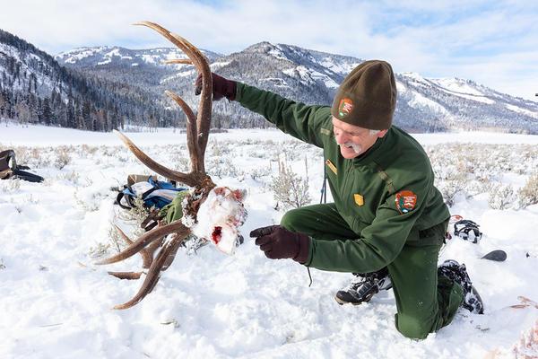 Doug Smith, senior wildlife biologist, examines a wolf-killed bu