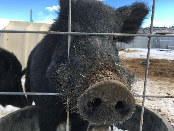 This wild hog from Hawaii was raised at the National Wildlife Research Center in Fort Collins, Colorado. Feral pigs in the wild tend to eat anything containing a calorie, from rows of corn to sea turtle eggs, to baby deer, and goats.