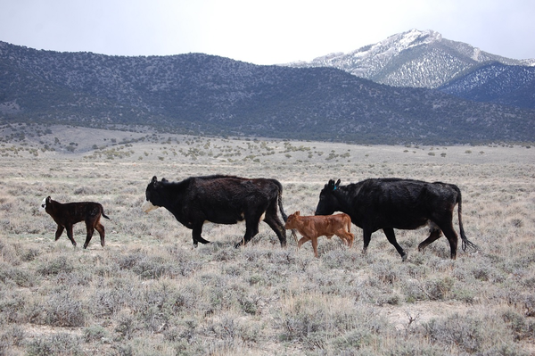 The BLM's proposed grazing overhaul would, in part, make it easier for ranchers to graze cattle in the name of reducing fuel loads and combating wildfires on federal lands.