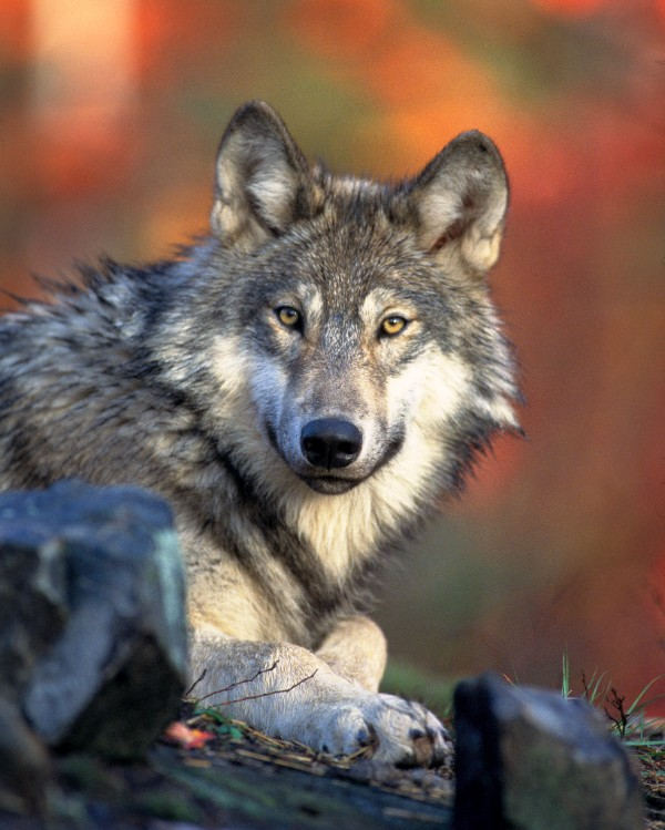Grey wolves like the one pictured here have been crossing the Wyoming-Colorado border.