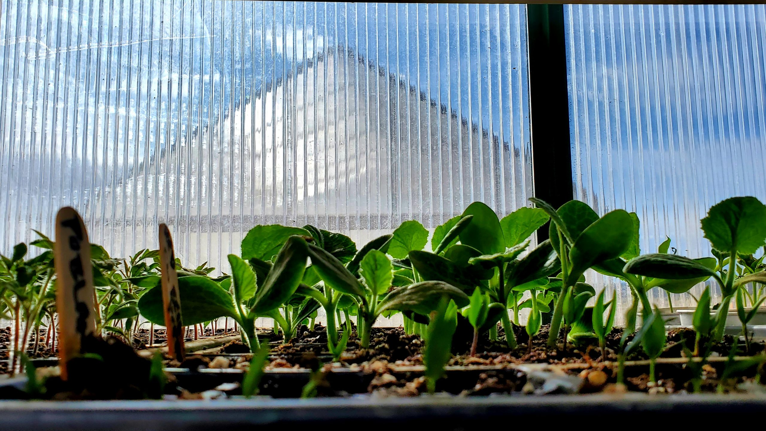 These young starts are almost ready to transplant into to larger pots and move to one of the two finishing greenhouses, seen in the background.
