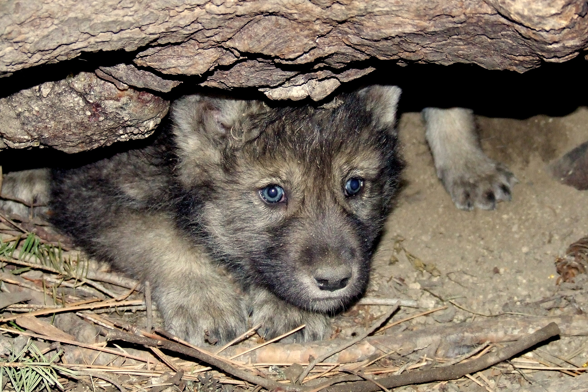 A gray wolf pup emerges from their den.