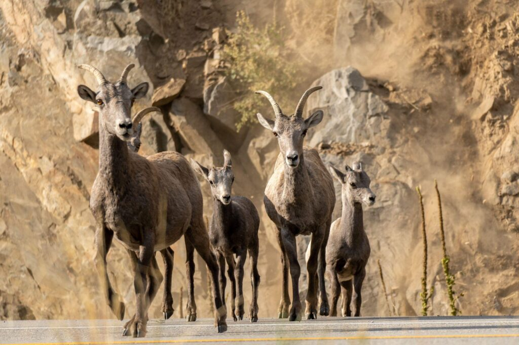 Bighorn sheep leave the fire area in Larimer County