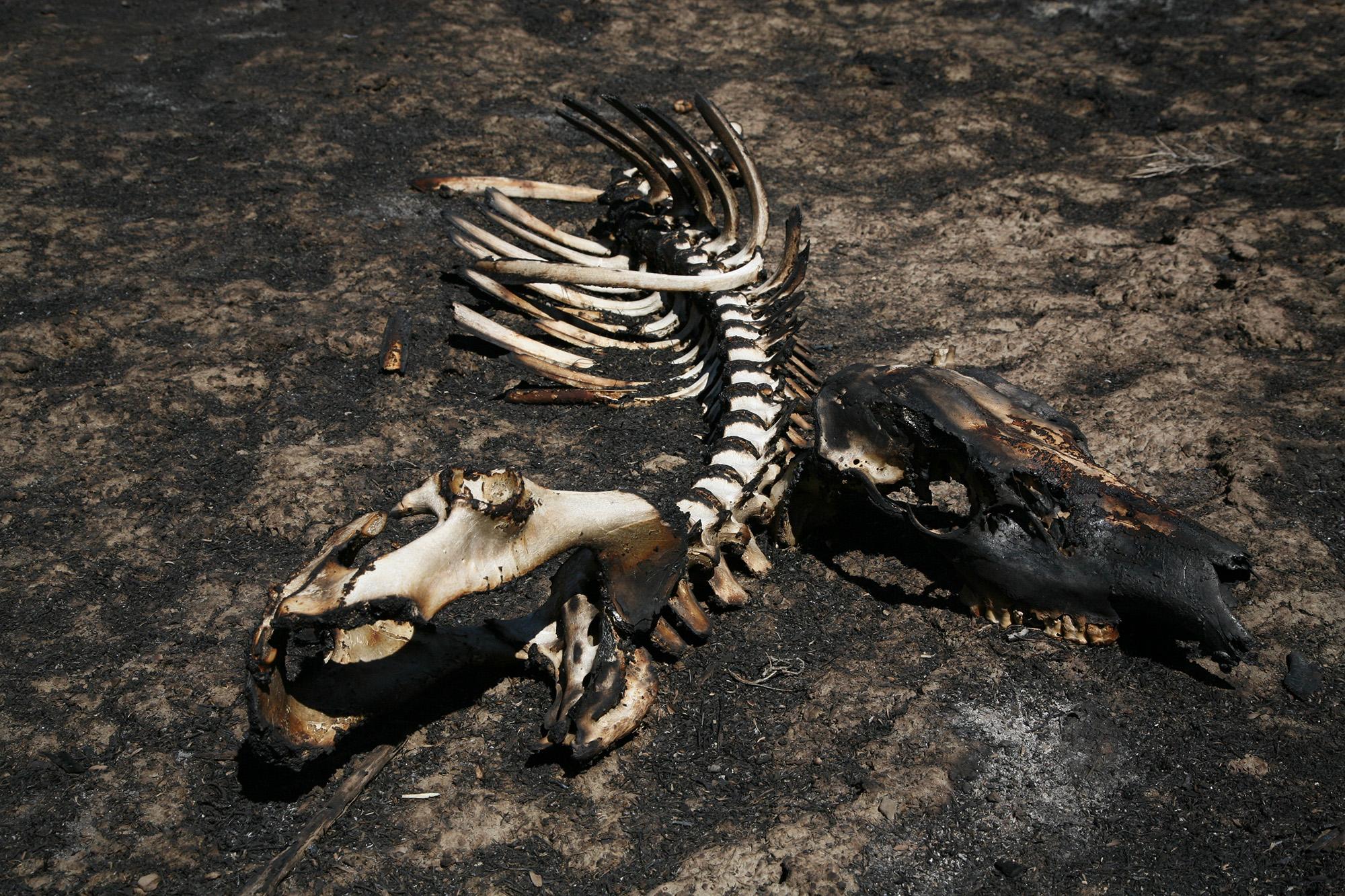 Pine Gulch fire clean-up carcass