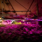 Marijuana grows in The Clinic's warehouse in Denver's Overland neighborhood. Tubes running across the ceiling carry carbon dioxide. March 19, 2021.