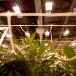 Grow lights above marijuana crops in The Clinic's warehouse in Denver's Overland neighborhood. March 19, 2021.