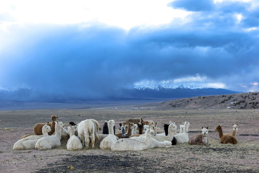 Alpacas lounge at the Tenacious Unicorn Ranch as weather rolls in over the Sangre de Cristo Mountains on April 27, 2021.