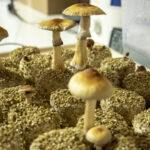 Psilocybin mushroom cultivation, May 29, 2019. (Kevin J. Beaty/Denverite)