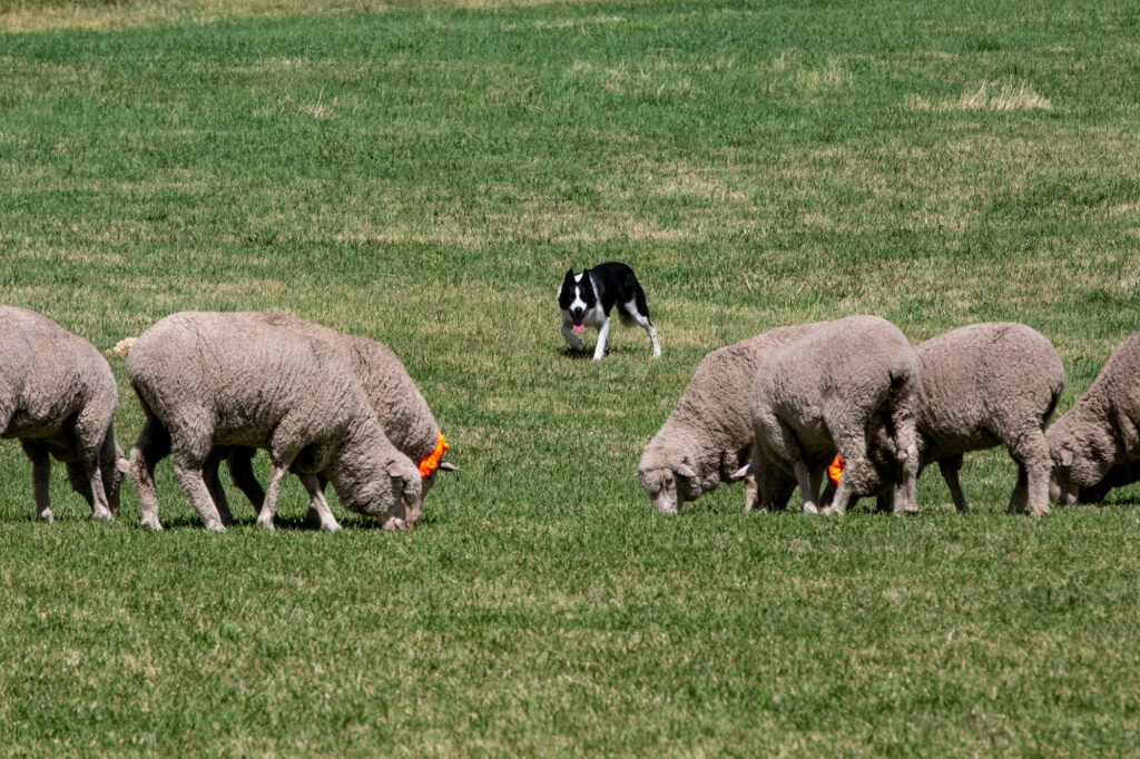 210911-MEEKER-SHEEPDOG-TRIALS
